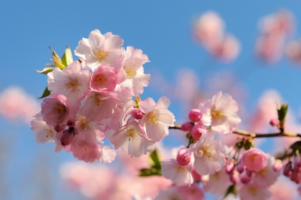 cherry-blossom-by-flickr-user-flofler